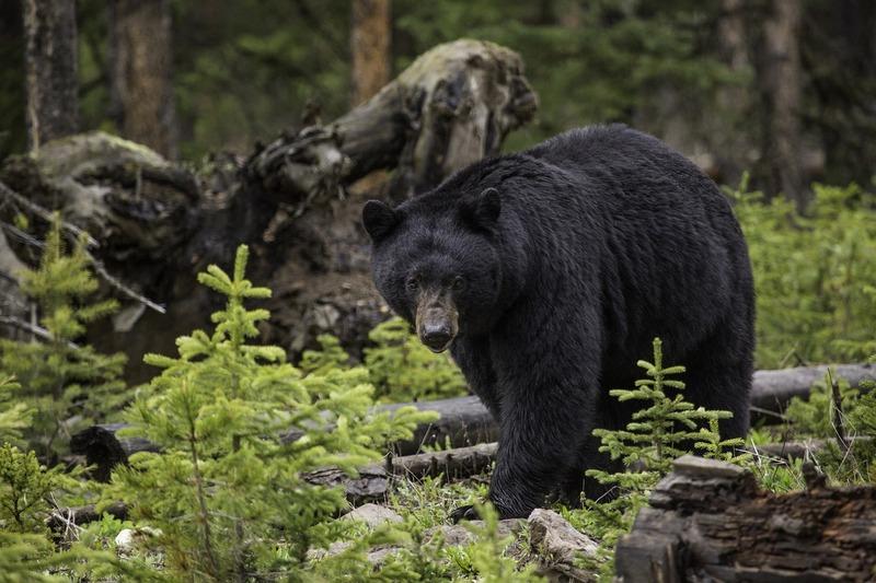 a black bear wanders a spruce forest in West Virginia.