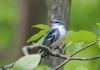 Resident of old forests, a cerulean warbler perches on a beech.