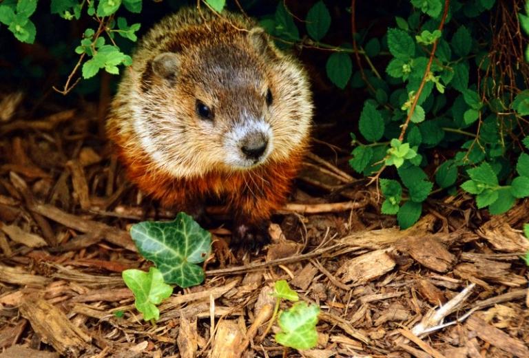 Walker named Grand Groundhog Watcher at Concord University
