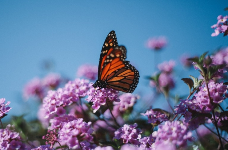 A monarch butterfly feeds on flowers.