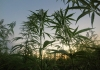 A field of hemp in West Virginia greets the dawn.