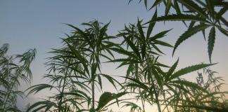 A field of hemp in West Virginia greets the dawn.