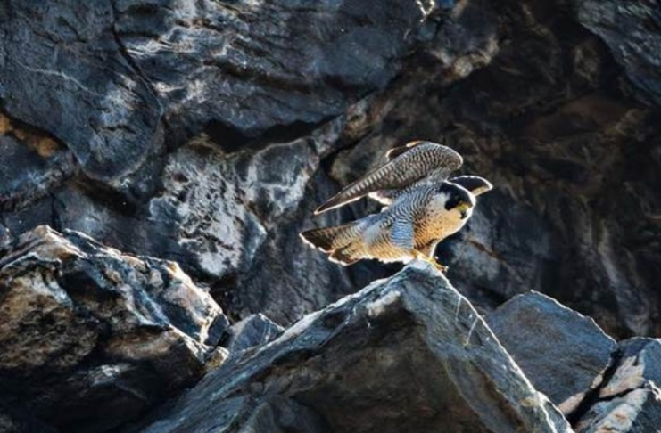 A peregrine falcon surveys Harpers Ferry from a cliff on Maryland Heights.