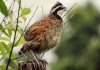 Bobwhite were heard across much of West Virginia until the late 1970s.