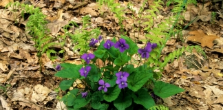 Common Blue Violets are among the edible plants one can find growing almost anywhere in West Virginia.