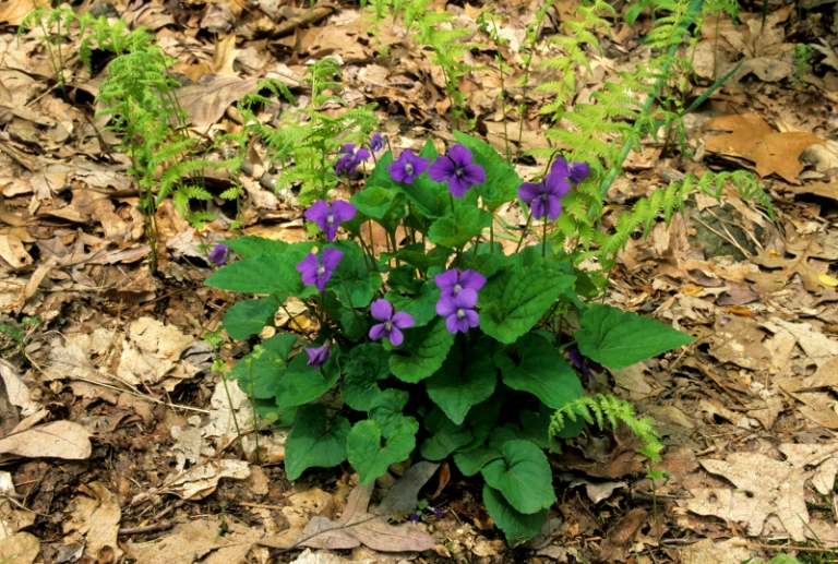 Eight edible spring plants that grow wild in West Virginia