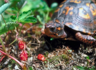 An eastern box turtle eyes a cluster of wild strawberries in a West Virginia wood.