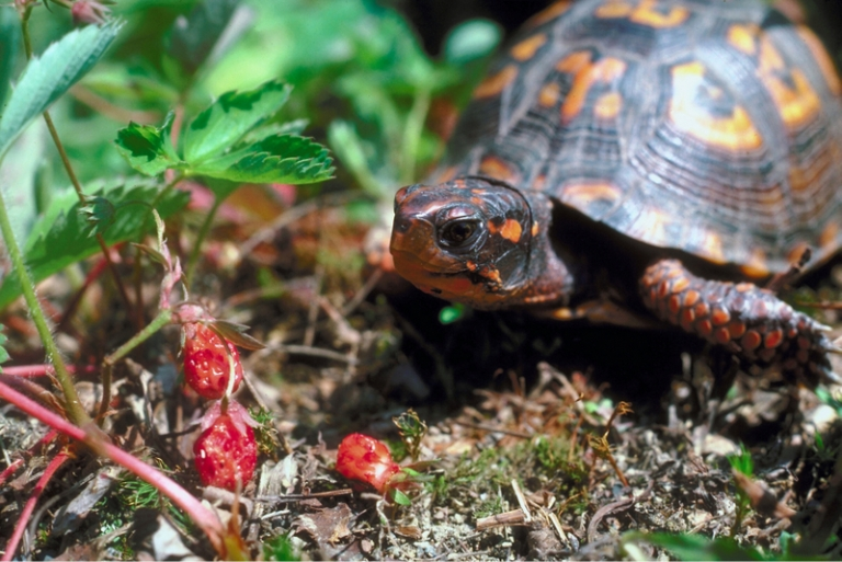 Watch for eastern box turtles on West Virginia backroads