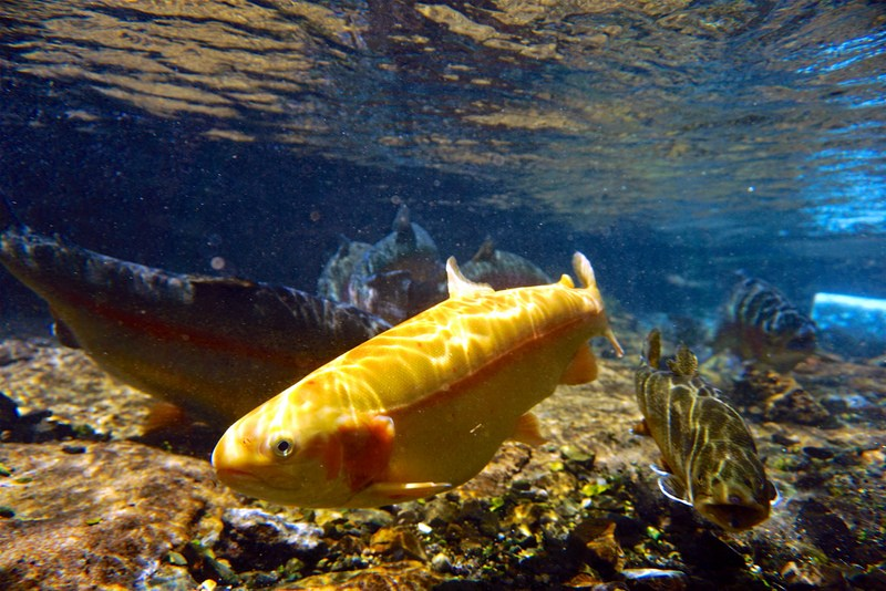The star of the Gold Rush, a golden trout darts through a West Virginia stream.