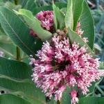 Common milkweed flowering in late summer.