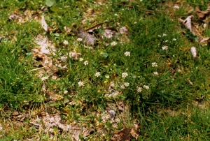 A patch of bittercress erupts.
