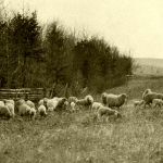 The old-time breed of sheep raised in the mountains was small but hardy and adapted to spending its time in the woods.