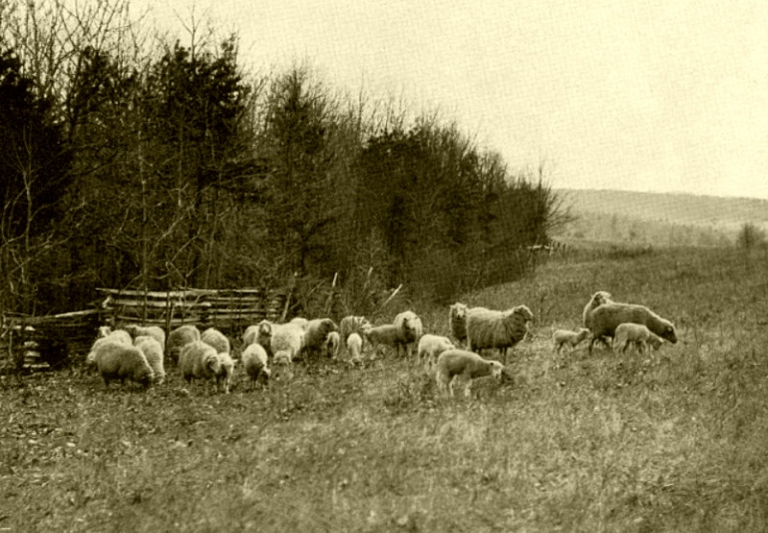 Raising sheep in West Virginia mountains differed from valleys