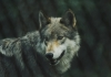 As far as is known, the last eastern wolf roamed West Virginia until it was taken in Webster County in 1897.