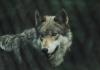 As far as is known, the last eastern wolf roamed West Virginia until it was taken in Webster County in 1897.