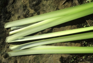 Cut cattail leaves are ready for a salad.