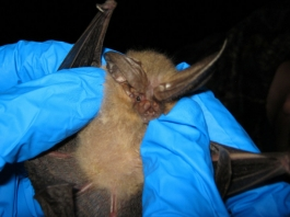 Wildlife specialist Sheldon Owen notes that bats are not the chief culprits in zoonotic transmissions.