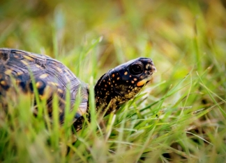 An eastern box turtle traverses a lawn in West Virginia. (Photo courtesy W.Va. Dept. of Commerce)