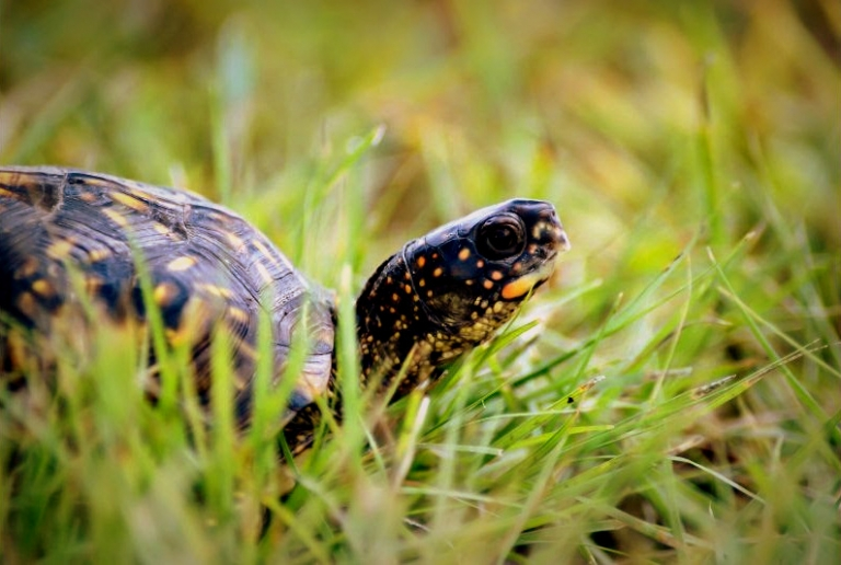 W.Va. launches citizen science project to document box turtles