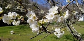 A peach tree flowers in a yard near Pineville, West Virginia, in central Wyoming County.