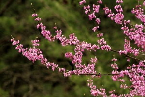Spring-blooming redbud blossoms cluster along a branch.