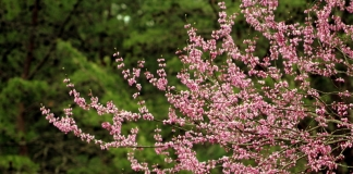 A redbud tree flowers on the edge of a West Virginia woodland.