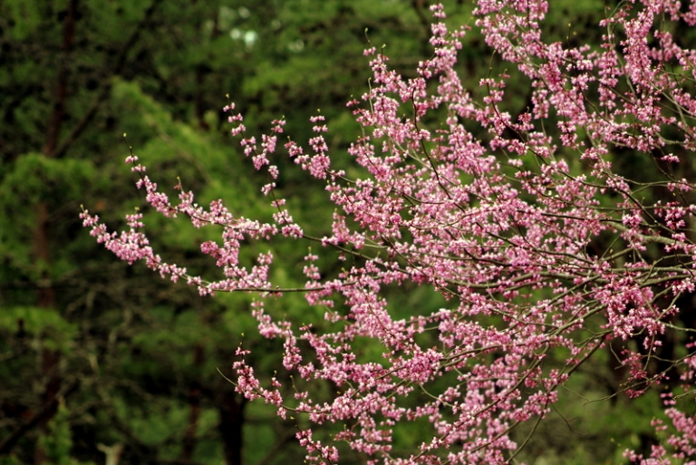 Pink Flowering Redbud Trees Guided Early W Va Settlers West