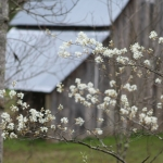 A sarvis tree blossoms on the edge of a barnyard in Wyoming County near Twin Falls State Park.