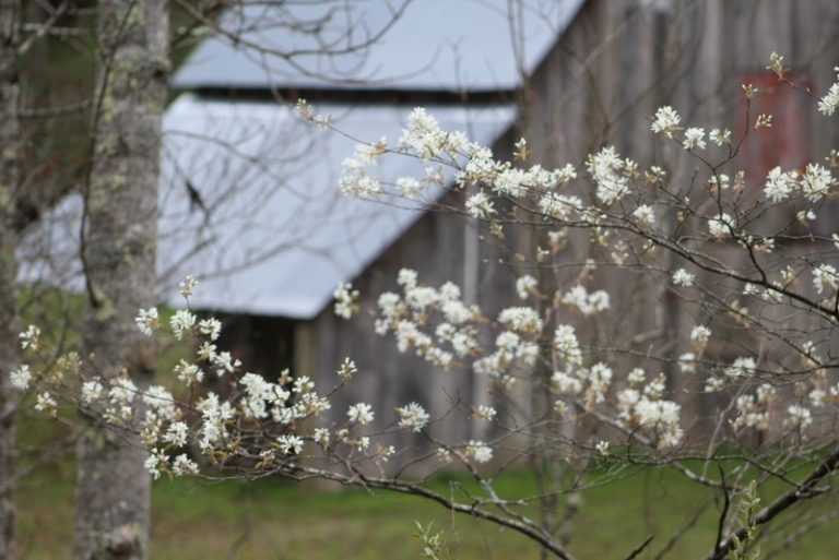 Sarvis Tree blossoms signal the arrival of mountain spring