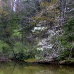 A Serviceberry Tree flowers along a woodland pond.