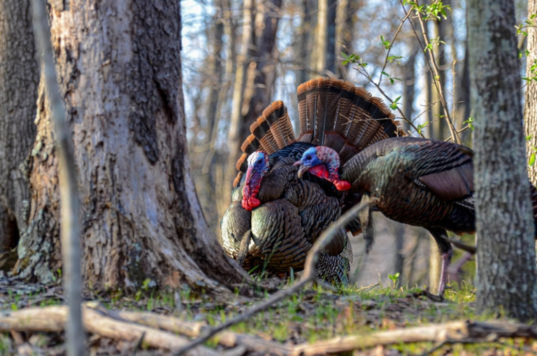 Biologists anticipate increased turkey harvest opportunity