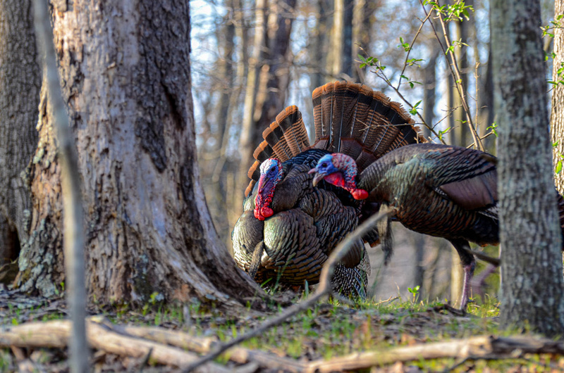 Spring gobbler season in West Virginia is anticipated to be especially productive.