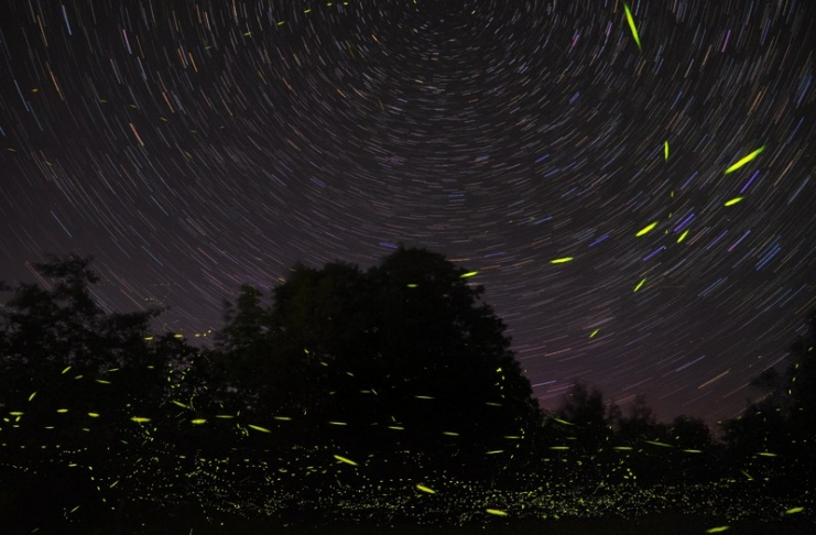 Lightning buys, also known as fireflies, dart around a backyard in a time-release photograph. (Photo: Mike Lewinski)