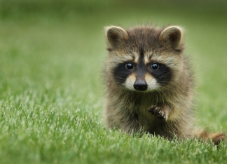 A baby raccoon closely watches photographer Gary Bendig. (Photo courtesy Gary Bendig)