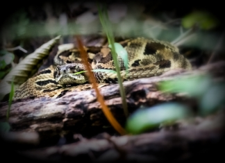 A timber rattler peers out from a forest hiding spot.