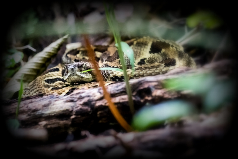 Biologists in West Virginia study how to relocate rattlesnakes