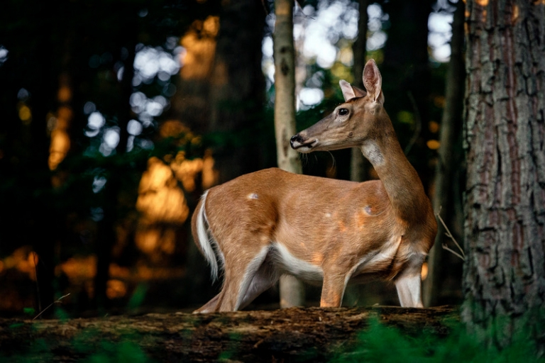 Applications available for W.Va. 2020 Limited Antlerless Hunt