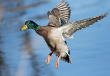 A mallard lands on a waterway in West Virginia.