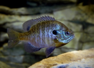 Bluegill are a favorite lake and pond fish among West Virginia anglers.