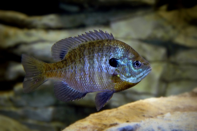 W.Va. biologists researching ways to grow bigger bluegill