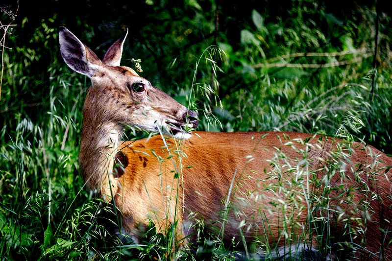 Controlled hunts are scheduled for the fall at Beech Fork, Cacapon, Canaan Valley, North Bend, Pipestem, and Twin Falls.