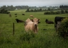 Livestock should have access to safe areas during threat of inclement weather.