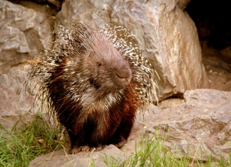 Native to northern Appalachia, porcupines have been slowly migrating south into West Virginia.