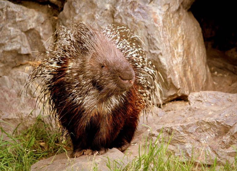 Porcupine invasion reaches into south-central West Virginia