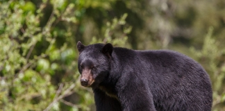 Black bear are now found in all 55 West Virginia counties.