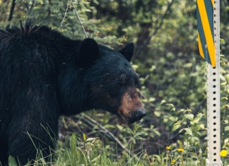 Bears are infiltrating urban and suburban areas in remarkable numbers.