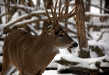 A white-tailed buck deer waits in a West Virginia woodland.
