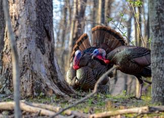 Wild turkey roam a woodland in northern West Virginia.