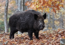 Wild boar still range across isolated mountain hollows in Logan County.
