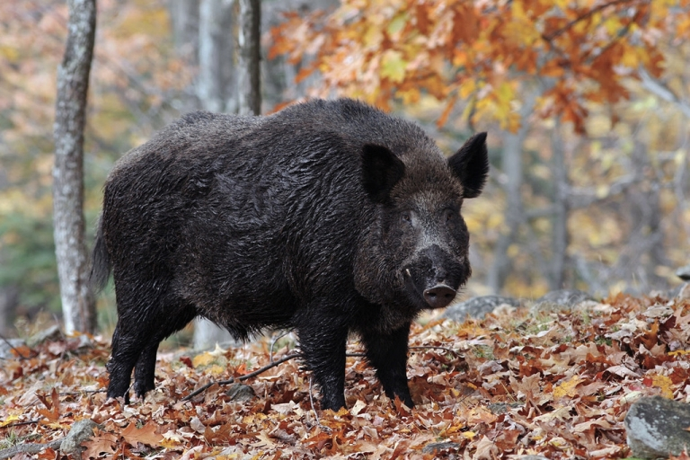 W.Va. announces lottery for boar hunting on private land